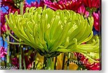 Flowers Everywhere / Flowers:  Bright, colorful and cheerful photographs for greeting cards and wall hangings. My camera will not stop clicking when I am around the beauty of flowers! DJ Laughlin Photography