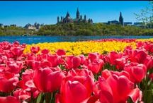 Ottawa is Tulips / Every May, the Canadian Tulip Festival in Ottawa welcomes over a million tulips in 50 varieties blooming in public spaces across the National Capital Region. The highest concentration of tulips can be viewed in the flower beds of Commissioners Park, on the banks of Dow's Lake, where 300,000 flowers bloom.