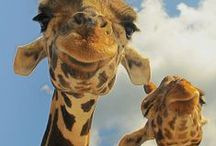 Giraffes- How I love them  / Giraffes have the biggest hearts of any living mammal ! Oh how I love them!
