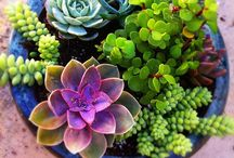 Succulents Galore / by Valerie Noble