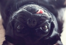 PUGS / by Denise McDowell