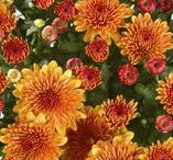 Chrysanthemums / Chrysanthemums are one of the most popular cut flowers in the world, owing perhaps to their assortment of vibrant colours, shapes and sizes and long vase life.