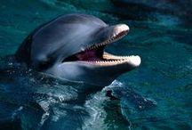 Bottlenose Dolphin / by MacKayla Testerman