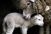Rams, lambs, and ewes