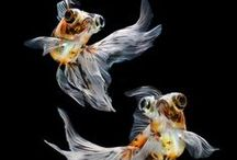 Gold Fishies / by Melanie DeLomba