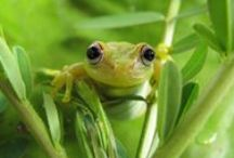 Amphibians, Reptiles & Snails Pictures / Amphibians are frogs, toads, salamanders, newts and other cold blooded animals that change from breathing water as a juvenile to breathing air as an adult.  / by CreatedWithFire Studios & Designs