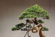Garden - bonsai
