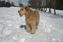 In Memory of Milo / life is better with soft-coated wheaten terriers