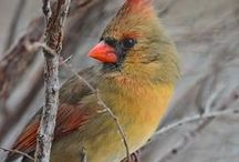 Birds / Singing, soaring beauties of the skies...  (especially cardinals!) / by Patricia Duffy