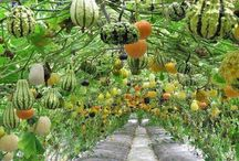 Seeds, Gardening & Growing Gourds / Tips for growing gourds in the garden.