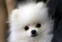 About Jlyne - My Favorite Dogs are Toy Pomeranians / Follow this board to see pictures of my favorite dog - the Toy Pomeranian!   #pomeranian #teacup #toy #dog #pet Jlyne Hanback, REALTOR® http://www.WelcometoFrisco.com / by Jlyne Hanback, Realtor®