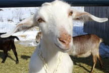 Farm: Goats / by A B