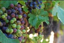 Harvest / Our favorite time of year. The weather is a little cooler, the grapes are ripe and new varietals are being made!  / by Kendall-Jackson Wines