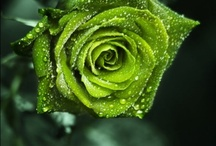 GardenRoses / Perfection in the world of flowers. / by Robert Potillo