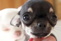 Chihuahuas / by Dawn Renslow