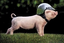 the pig / i love pigs / by Beth Daane