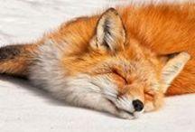 Fox / Beautiful foxes. / by Kya O