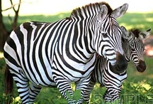You knw I see in Zebra / by Jessica Johnson