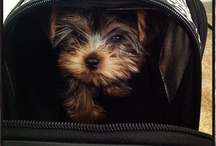 Posh Yorkie Pup / by Joyce Moore Coldwell Banker Realtor