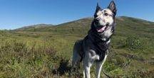 Alaskan Husky / My dogs breed