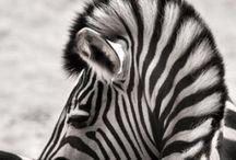 All Things Zebra / by Katie Tinney