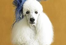 Poodle Pandimonium / animals-dogs / by Viva Coleman
