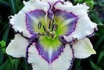 Flowers ~ Lilies