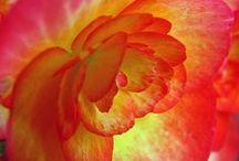 Flowers ~ Begonias & Impatiens