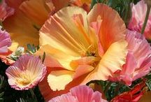 Flowers ~ Poppies