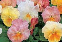 Flowers ~ Violas & Pansies /  & Johnny Jump Ups
