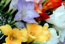 Flowers ~ Freesia / Among my favorite scents.