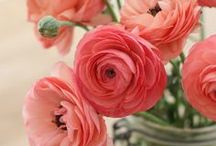 Flowers ~ Ranunculus / Sometimes it's hard to tell these from roses, poppies or peonies in photos. The look great in arrangements. Come in every color of the rainbow and grow in the early spring in most climates.