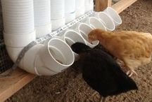 Chirpy chickens choosers / DIY backyard chickens