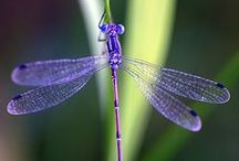 Dragonflies / All things dragonfly.  I've always been drawn to them - their beautiful wings, their varied colors ... magical!