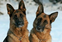 German Shepherds / by Tammy Lorch