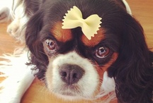 Cavalier I'd like to cuddle one day