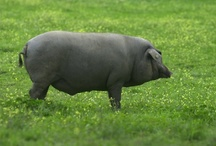 Cerdos Ibéricos de Bellota / El mejor Jamón Ibérico de Bellota se obtiene cuidando la materia prima: El Cerdo 100% Ibérico de madre y padre de Juan Pedro Domecq