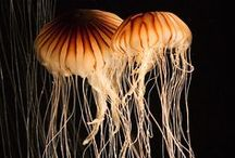 Joyous Jellies / Sea Creatures / by Picture Alchemy