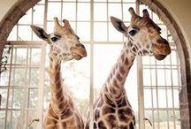 giraffe / by Paper & Parcel
