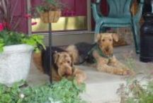 #AiredaleTerriers  / We used to have 2 of these beautiful animals