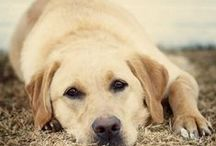 DOGS / LABS and friends for Daisy Mae!