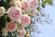 Roses / by Carolyn Martin