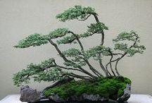 bonsai / miniature trees also kmown as bonsais