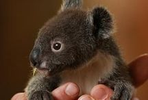 Koalas. My Favorite. / These animals are so sweet and I have ALWAYS loved them. I so want to hold one.  / by Lynn Speegle