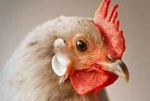 Chickens To Love / by Vivian Kasey
