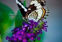Butterflies & Hummingbirds / Tips for attracting butterflies and hummingbirds to your garden.