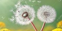 Dance with the Dandelion | 123RF.com / Dandelion Photo Images. A board specially dedicated to the natural & delicate beauty of mother nature. For more Dandelion Images : http://bit.ly/2vAFk6Z