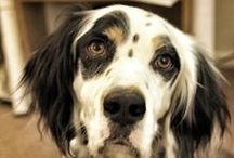 Furry Love / My favorite English Setters and German Shorthaired Pointers