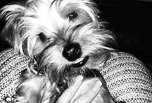 Yorkshire Terriers  / I have a handsome Yorkie named Lord Duncan. He is such a little gentleman! <3 / by Kates Romphf