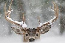 Reindeer's love